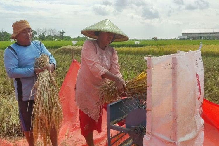 Sepasang suami istri petani saat proses pemilahan gabah menggunakan alat tradisional di musim panen raya di areal persawahan Kelurahan Kaligangsa, Kecamatan Margadana, Kota Tegal, Senin (22/3/2021).