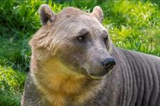 Perubahan Iklim Lahirkan Spesies Beruang Baru Bernama Pizzly, Seperti Apa?