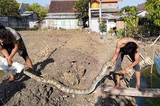 Sedang Beri Makan Lele, Warga Temukan Ular Sanca Kembang Sepanjang 3 Meter