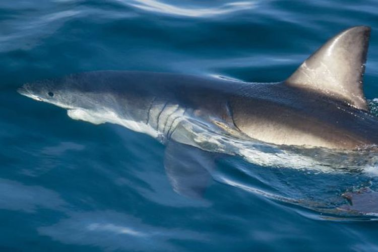 Ilustrasi Ikan Hiu