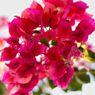 Bunga Bugenvil Tidak Bermekaran? Ketahui 4 Penyebabnya