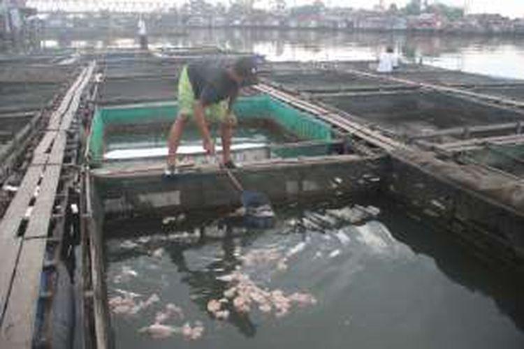 Yudi (34), pembudidaya ikan di Kelurahan Benua Anyar, Banjarmasin Timur, Kota Banjarmasin, Kalimantan Selatan menyerok ikan nila yang mati di dalam keramba jaring apung miliknya, Rabu (14/9). Seminggu terakhir, terjadi kematian massal ikan nila karena perubahan warna dan kadar keasaman air Sungai Martapura.