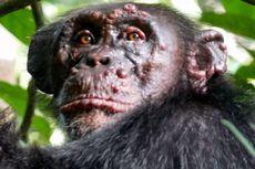 Pertama Kali, Ilmuwan Ungkap Kasus Kusta pada Simpanse Liar