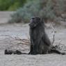 Obati Kesedihan, Induk Babun Gendong Mayat Bayinya hingga 10 Hari