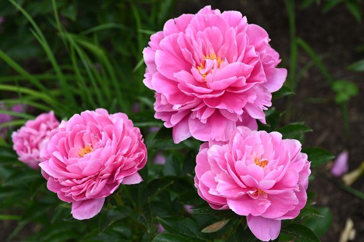 Ilustrasi bunga peony yang dianggap sebagai bunga keberuntungan dalam budaya China.