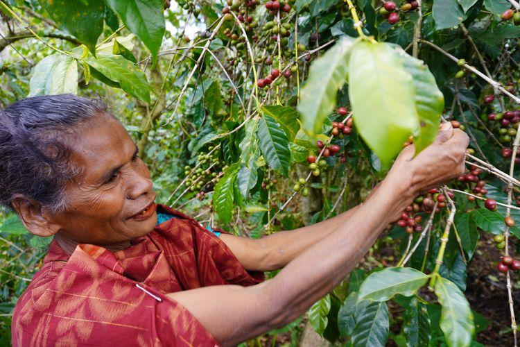 Petani kopi di Bajawa, Flores.