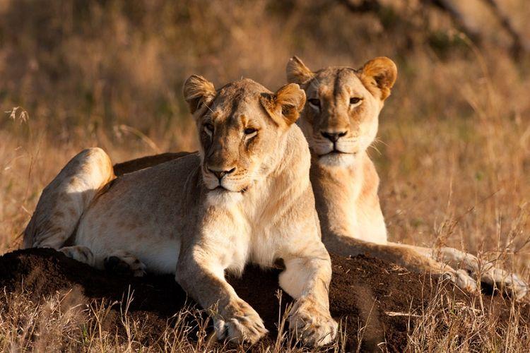 Singa betina di Afrika Selatan.