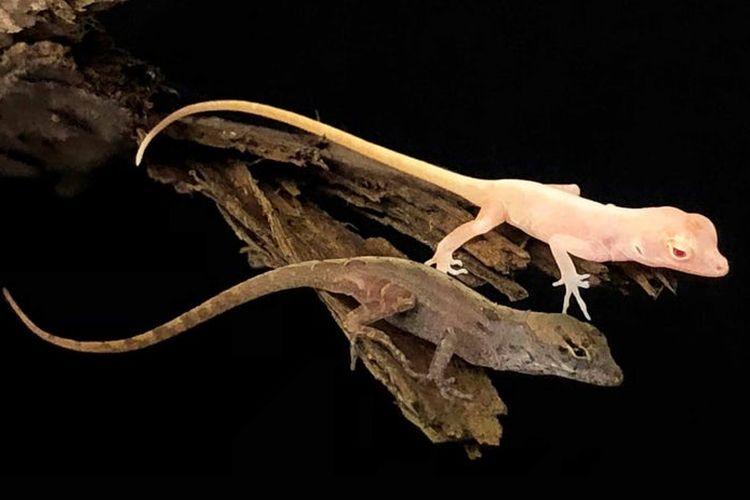 Ilmuwan dari Universitas Georgia berhasil menciptakan kadal merah muda pertama di dunia dari kadal anoles cokelat.