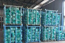 Sebanyak 1.625 Ton Kubis Sumut Lolos Karantina Ekspor, Tembus Pasar Malaysia, Singapura, dan Taiwan