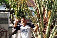 Cerita di Balik Pohon Kurma Berbuah Lebat di Mataram, Pemilik Sering Buang Biji Kurma di Halaman