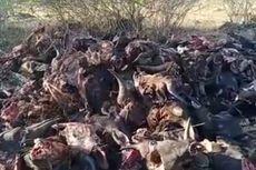 Buang Ratusan Kepala Sapi di Lahan Kosong Milik Warga, 2 Pria ini Ditangkap