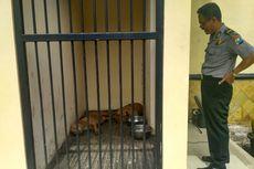 Dua Anjing Pitbull Penyerang Kakek hingga Tewas Kini Dikerangkeng