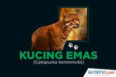 INFOGRAFIK: Mengenal Kucing Emas, Spesies Langka yang Hampir Terancam Punah