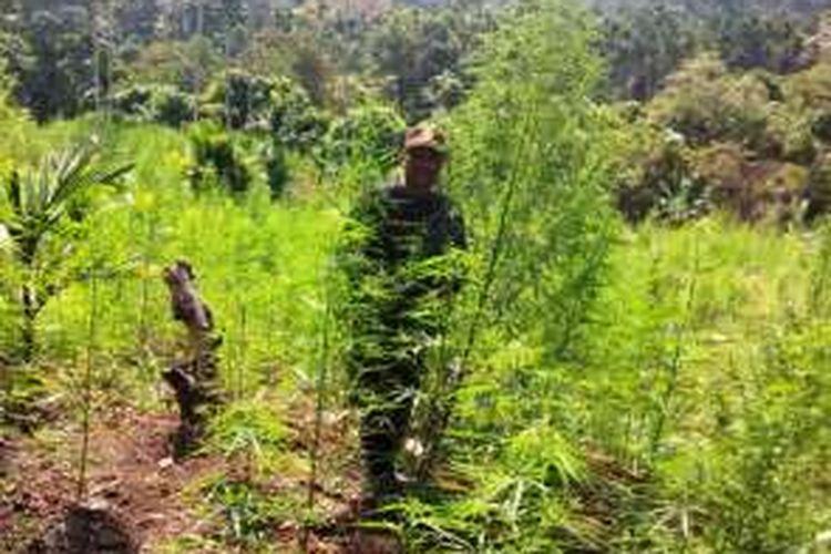 Polisi mencabut pohon ganja yang ditemukan puluhan hektare di Uteun Punti, Kecamatan Sawang, Aceh Utara, Sabtu (17/4/2016)