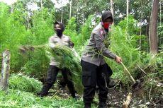 Polres Aceh Besar Musnahkan 20 Hektar Ladang Ganja