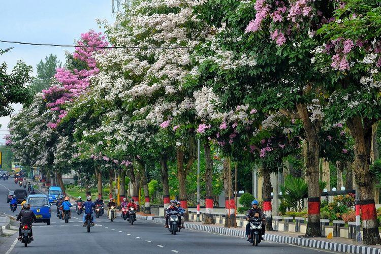 Deretan pohon Tabebuya yang bunganya sedang bermekaran di Jalan Sarwo Edie Wibowo atau di depan kantor Pemkot Magelang, Jumat (22/11/2019).