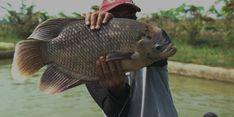 Kembangkan Perikanan di Kabupaten Limapuluh Kota, BRPI Budidayakan Gurame Hibrida Unggul