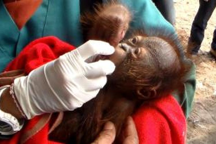Bayi orangutan dievakuasi dari hutan desa Mandaran yang terbakar