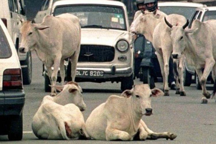 Sapi banyak dijumpai berkeliaran bebas di jalan-jalan raya India.