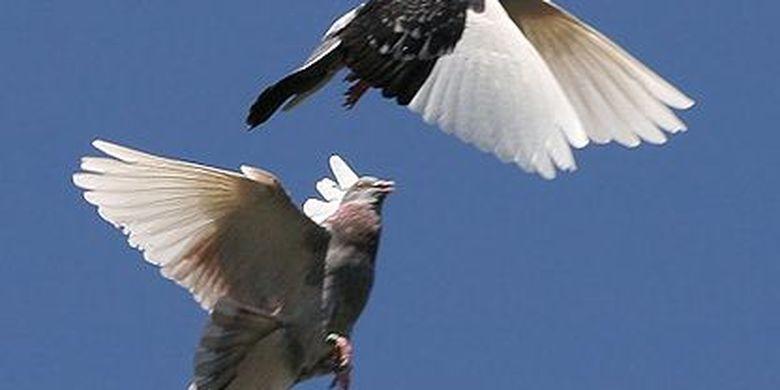 Alasan Merpati Mau Terbang Berkelompok Meski Lebih Melelahkan Halaman All Kompas Com