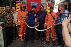 Petugas Damkar Evakuasi Ular Sanca 3 Meter yang Melilit di Lampu Jalan