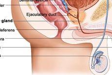 Alat Reproduksi Pria dan Proses Pembentukan Sperma