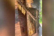 Beli Rumah Tua, Keluarga Ini Kaget Temukan 450.000 Lebah Hidup di Dinding Rumahnya