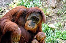 Tak Hanya Kehilangan Habitat, Orangutan Juga Terancam Virus Corona