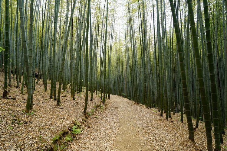 Ilustrasi Hutan Bambu - Pohon bambu di Ahopsan Forest yang terletak di Busan, Korea Selatan.