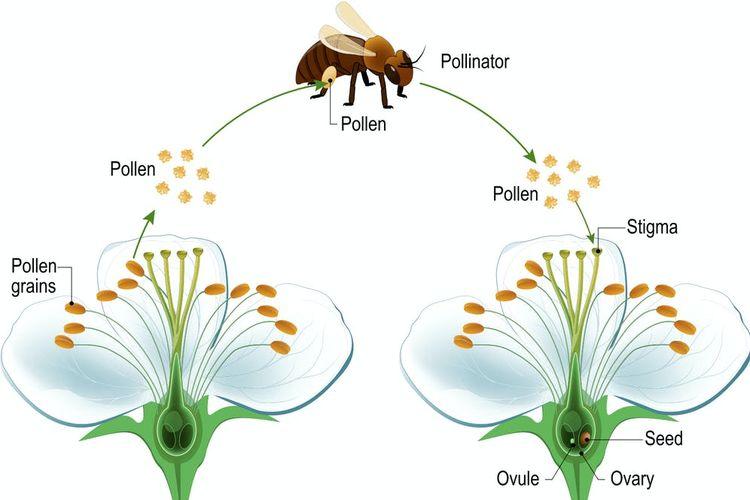 Penyerbuk hewan dapat membawa serbuk sari dari stigma satu bunga ke bakal biji bunga lain saat mereka mencari makanan.