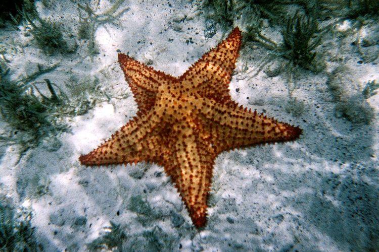 Ilustrasi bintang laut. Peneliti menemukan fosil echinodermata, hewan laut termasuk bintang laut dan bulu babi di kawasan tambang yang disebut sebagai situs dasar laut zaman dinosaurus, era Jurassic di sebuah pedesaan di Inggris.