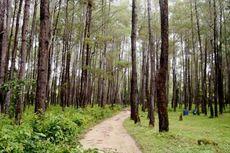 Hutan Pinus Juga Ada di Baubau, Sulawesi Tenggara