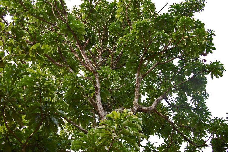Pohon kemang (Mangifera kemanga)