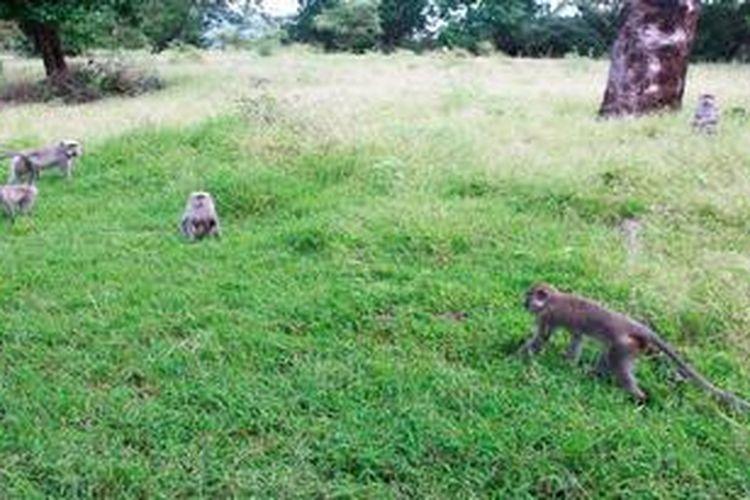 Kera ekor panjang bermain di hamparan savana Bekol di dalam kawasan Taman Nasional Baluran, Situbondo, Jawa Timur, Kamis (18/4/2013). Baluran terkenal dengan sebutan Africa Van Java karena hamparan savana dan binatang liarnya.