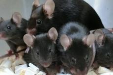 Sperma Tikus Bertahan 6 Tahun di ISS, Akankah Jadi Jawaban Cara Bereproduksi di Luar Angkasa?