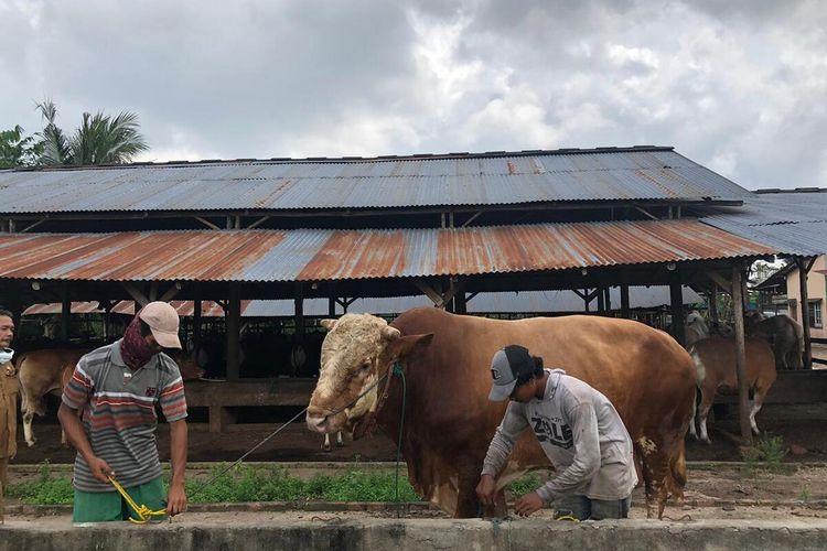 Sapi kurban yang ada di peternakan Dwi Karya Palembang, Selasa (14/7/2020).Penjualan sapi pada tahun ini mengalami penurunan sekitar 40 persen imbas dari wabah Covid-19.