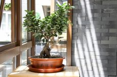 5 Tips Memelihara Tanaman Bonsai di Dalam Ruangan agar Subur dan Sehat