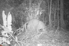Viral Foto Macan Tutul di Nusakambangan, Ini Penjelasan BKSDA