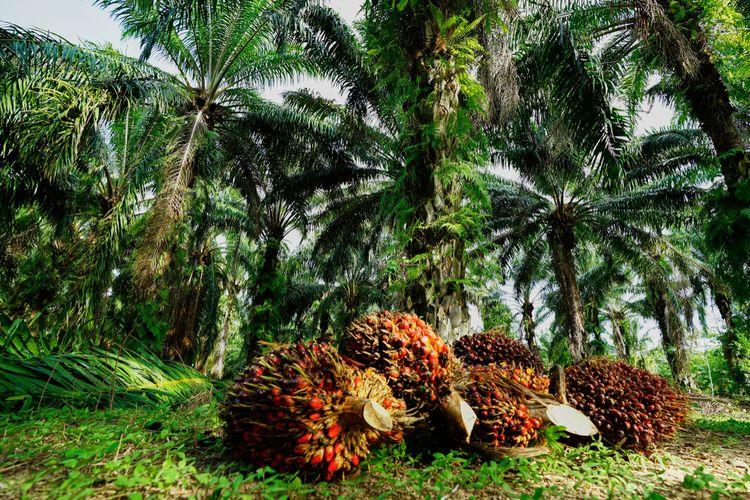 Ilustrasi kelapa sawit, perkebunan kelapa sawit.