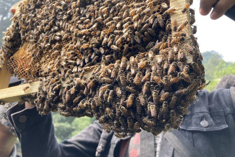 Salah satu dari sejumlah frame sarang lebah dalam kotak ternak lebah madu yang ada di area budi daya lebah madu yang berada di lembah hutan kaki Gunung Pangrango di Desa Bojongmurni, Kecamatan Ciawi, Kabupaten Bogor, Minggu (23/5/2021).