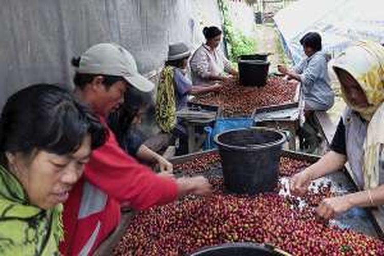 Sejumlah pekerja di perkebunan PT Sulotco Jaya Abadi sedang menyortir kopi yang baru dipetik untuk diberikan kepada luwak alias musang yang khusus ditempatkan di kandang.