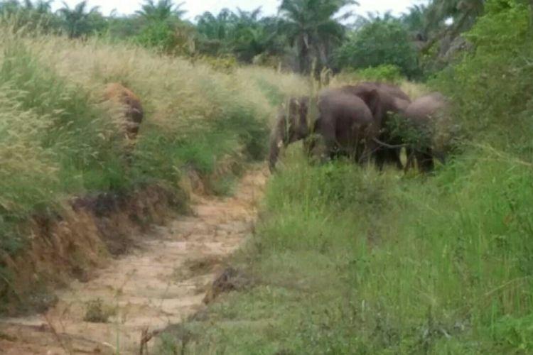 Kawanan gajah liar yang ditemukan petugas BBKSDA Riau di kebun warga di Kecamatan Rumbai, Pekanbaru, Riau, Selasa (4/6/2019). Dok. BBKSDA Riau