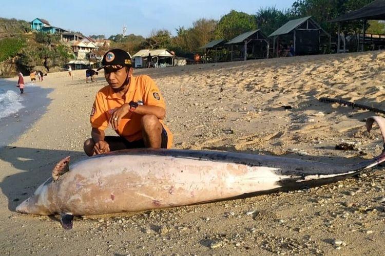 Petugas SAR Satlinmas Wilayah II Gunungkidul Memeriksa Lumba lumba yang ditemukan Mati di Pantai Sundak, Gunungkidul Kamis (29/10/2020)