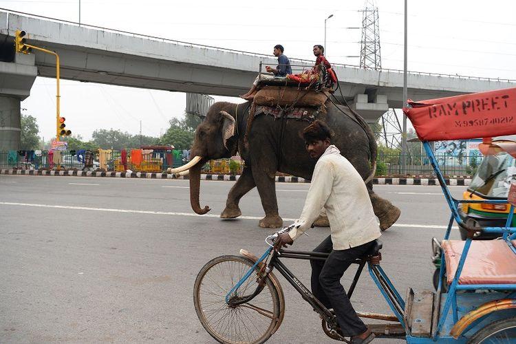 Seekor gajah berjalan di salah satu ruas jalan kota New Delhi, India.