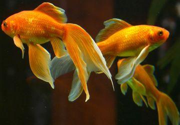 4 Tips Merawat dan Memberi Makan Ikan Mas agar Tidak Mudah Mati