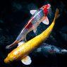 Hal-hal yang Perlu Diperhatikan Sebelum Membuat Kolam Ikan Koi