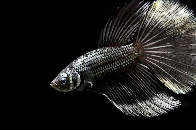 Ilustrasi ikan cupang berwarna hitam.