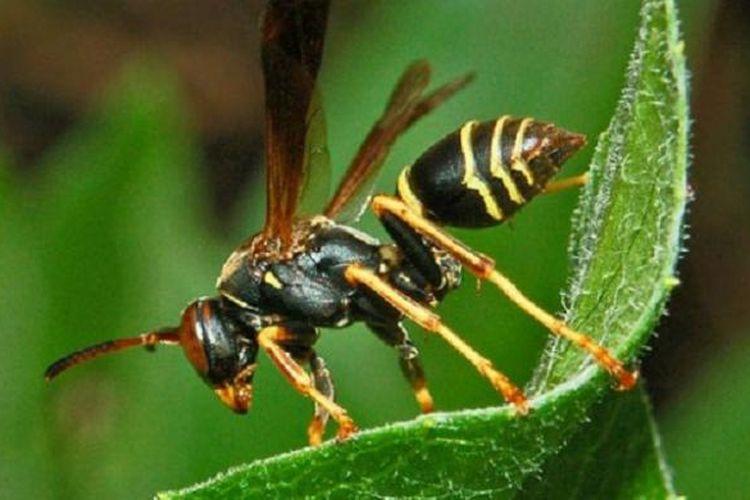 Ilustrasi tawon