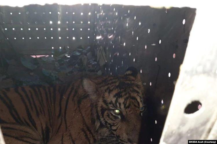 Harimau Sumatera yang diberi nama Danau Putra saat dilepasliarkan di kawasan Taman Nasional Gunung Leuser, Aceh, Sabtu 30 Januari 2021.