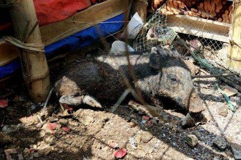 Pengakuan Tersangka Rekayasa Isu Babi Ngepet di Depok, Beli Babi Rp 900.000 secara Online